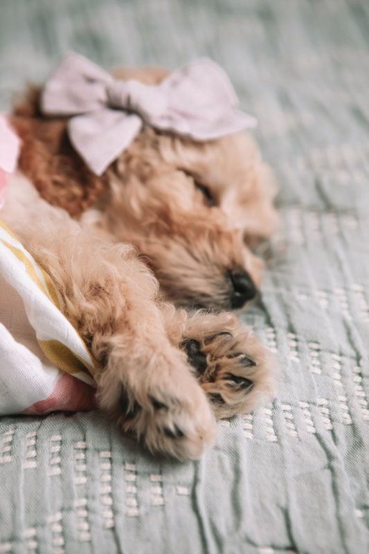 8 Week Old Red Goldendoodle In A Floral Swaddle For Newborn Puppy