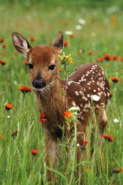 The curious fawn. I had one of these in my yard the other day: