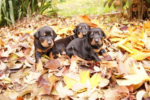 Litter Of 9 Doberman Pinscher Puppies For Sale In Vader Wa Usa Adn 47578 On Puppyfinder Com Gender Male Doberman Pinscher Puppy Doberman Pinscher Doberman