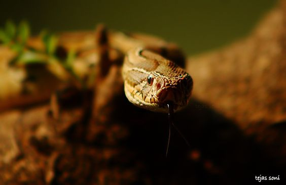 Photograph Russell's viper by Tejas Soni on 500px