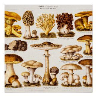 Modèle vintage de variété de champignon de 1800s posters