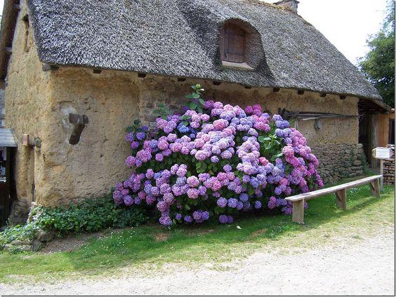 hydrangeas...gorgeous
