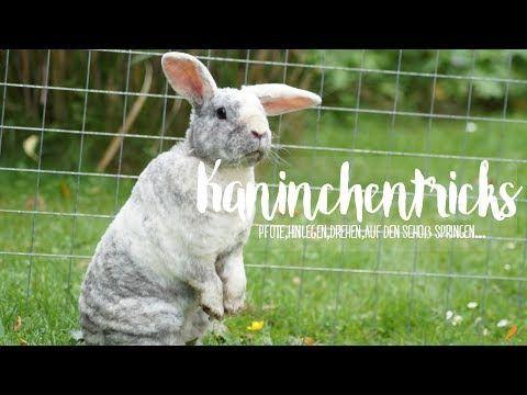 Kaninchen Tricks Beibringen I Kaninchentricks Pfotchen Drehen