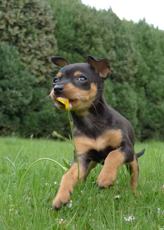 Miniature pinscher 3 months old