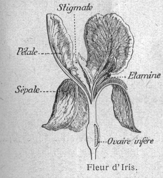 Dessins botanique : Image (54) - Fleur d iris (structure).jpg