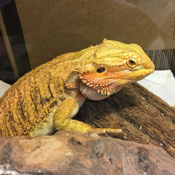 Sarabi, citrus bearded dragon