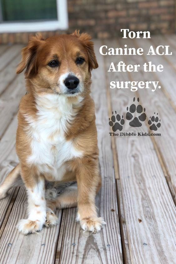 Torn Canine Acl After The Surgery Dog Psychology Acl Surgery