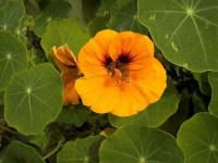 Nasturtium (genus Tropaeolum) - All parts of the members of this genus are edible except for the roots. The leaves and stems have a peppery flavor and may be used as a substitute for watercress. The beautiful yellow and orange flowers also have a peppery flavor and make an eye-catching addition to salads. They can also be finely chopped and used to flavor butter and sauces. The immature flower buds can be pickled and used like capers.