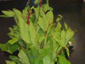Gongura Red Sorrel Leaves Dal Red Sorrel Gongura Leaves Are