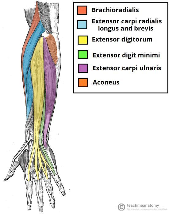 Anterior wrist anatomy