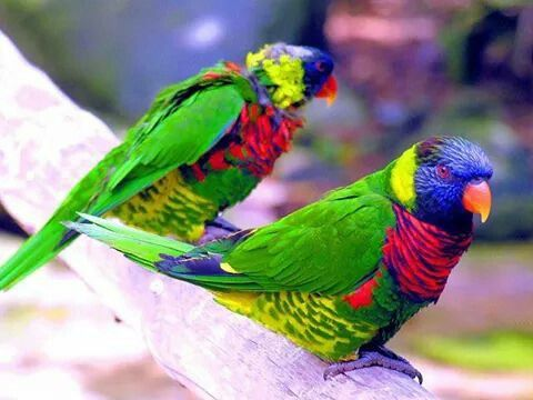Little parrots