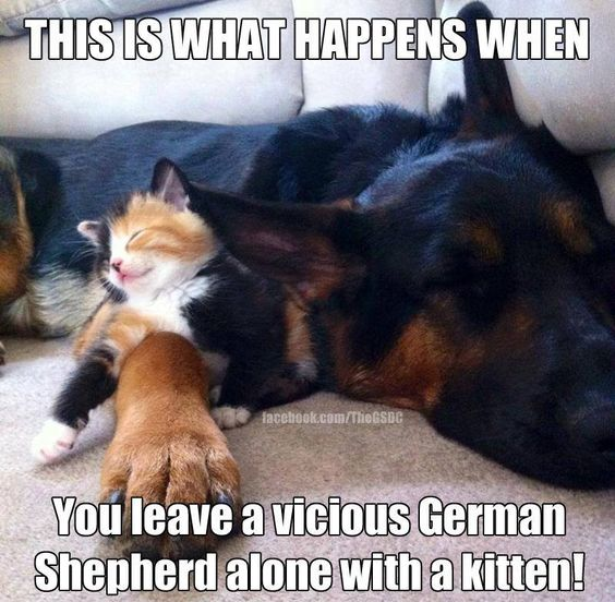 German Shepherd and Kitten