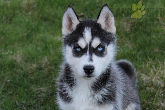 Husky Puppies For Sale Husky Puppies For Sale Puppies Siberian