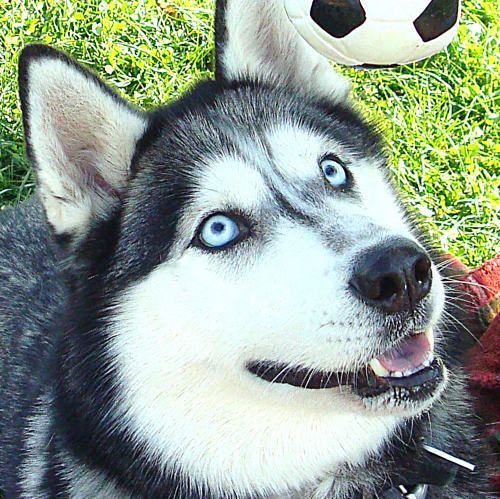 Adopt Skye Sanctuary On Siberian Husky Dog Rescue Dogs Animals