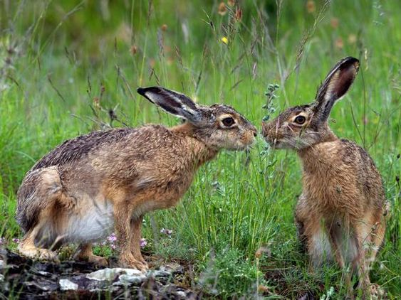 See a photo of hares playing in Italy and download free wallpaper from National Geographic.