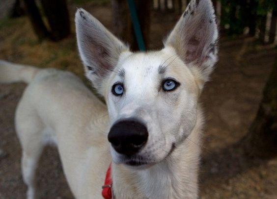 Marilyn   Adopted Puppy   Santa Rosa, CA   Irish Wolfhound ...