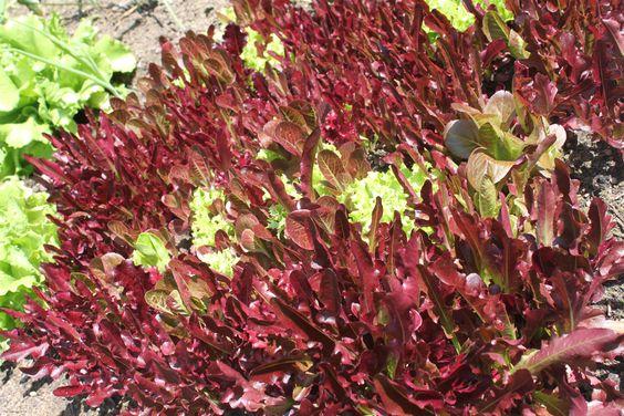 Täglich frisch schneiden und auf den Tisch. Es geht nichts über Salat aus dem eigenen Garten!