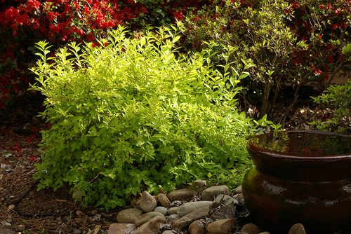 39 goldmound 39 spirea is a low maintenance shrub with yellow for Low maintenance bushes for full sun