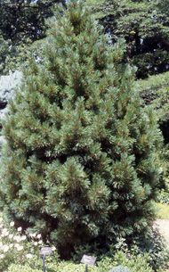Pinus cembra 39 glauca nana 39 dwarf swiss stone pine another for Slow growing trees for front yard