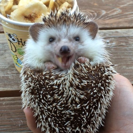 Biddy the traveling hedgehog eating dried bananas!: