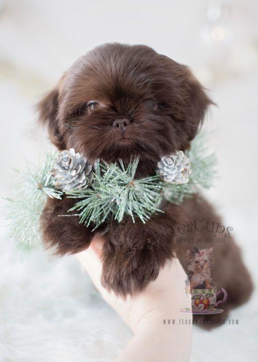 Chocolate Shih Tzu Puppy By Teacupspuppies Com Chocolateshihtzu