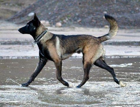Belgian Malinois Malinois Welpen Hunde Hunderassen