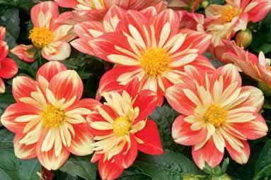 Dahlia Goldalia Orange 10 (in round wire basket on back fireplace)    common name:  dahlia  Syngenta Flowers