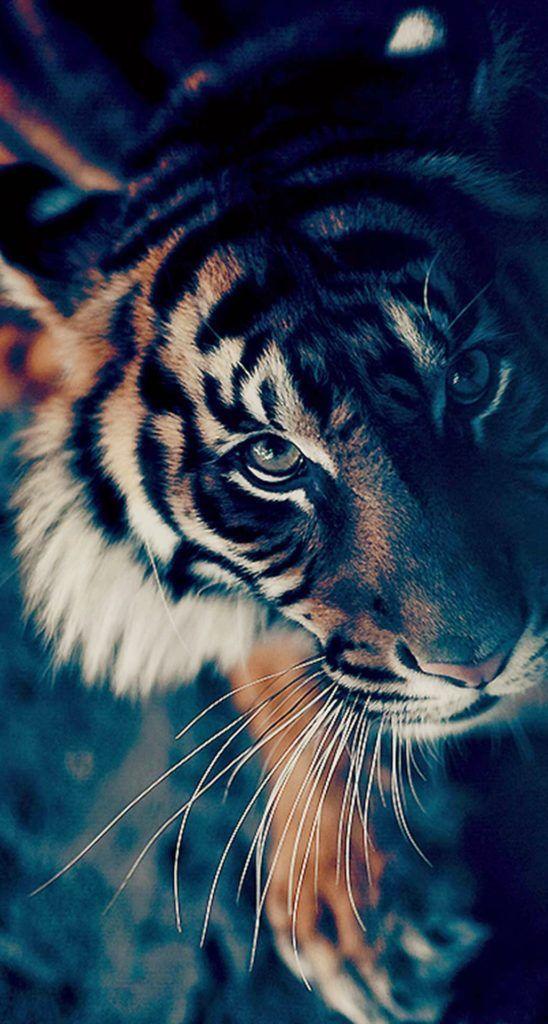 أفضل خلفيات ايفون ساده Best Wallpapers 1600 X 900 Tecnologis Tiger Wallpaper Animals Animals Beautiful
