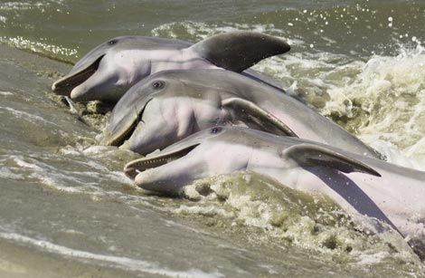 Witness Dolphins Strand Feeding Seabrook Island South