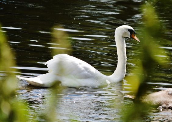 Swan on the lake - #Photography: best pictures of 2014 - A Zillion Ideas...