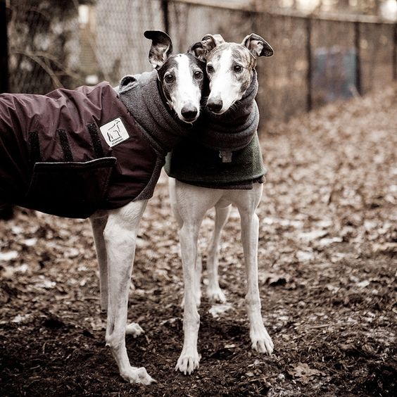 I've always wanted a greyhound...they kind of remind me of myself somehow; fragile and strong at the same time.
