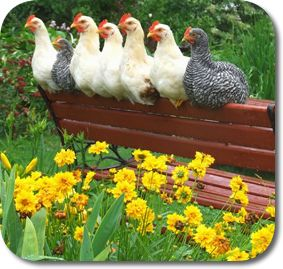 park bench perch for chickens
