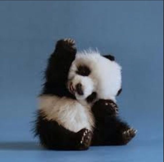 Baby panda. Reach for the sky!!