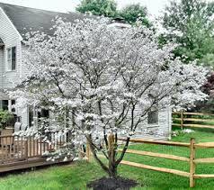 cornus kousa venus small trees and shrubs pinterest. Black Bedroom Furniture Sets. Home Design Ideas