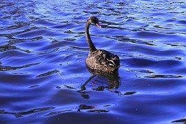 Black, Swan, Natation