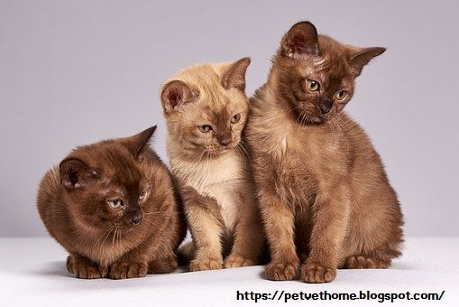 Cat Breeds Their Personality And Characteristics An