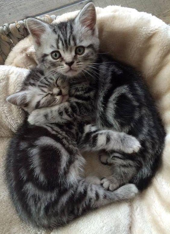 I Ll Protect My Sleeping Bro Silver Tabby Kitten Tabby Kitten Kittens Cutest