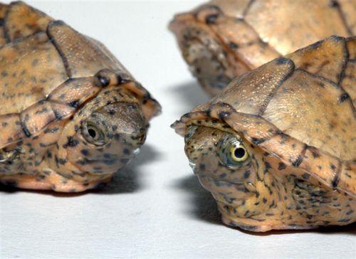 Aquatic Turtles For Sale Turtles For Sale Aquatic Turtles