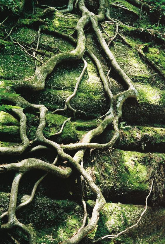 Ficus roots - inspiration!