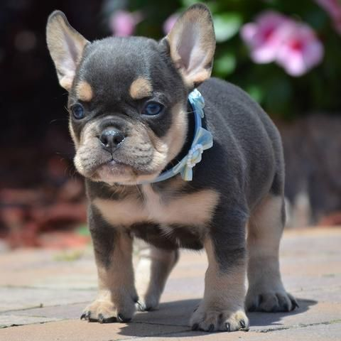 Know Your Frenchies With Images Bulldog Puppies French