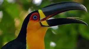 Resultado de imagem para pássaros brasileiros