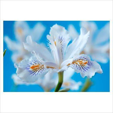 Iris japonica 'Snowflake', May