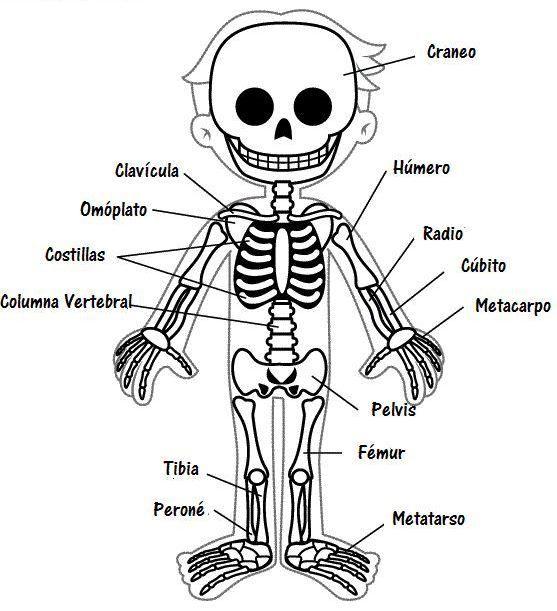Imágenes Del Esqueleto Humano Para Colorear Esqueleto