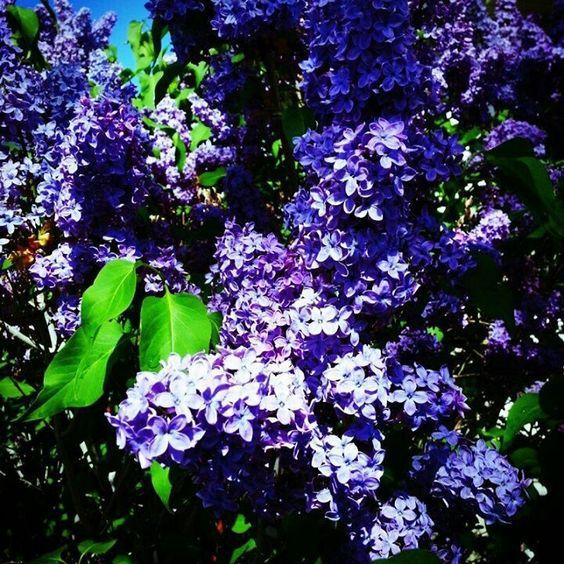 lilac bushes | via dixie fails
