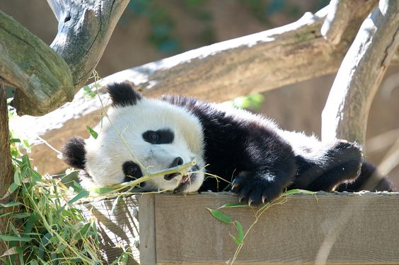 Xiao Liwu at the San Diego Zoo in California, US, on November 10, 2013. © Rita Petita.