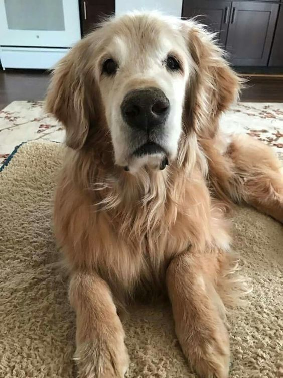 Loving This Senior Golden Retriever Face Golden Retriever Old