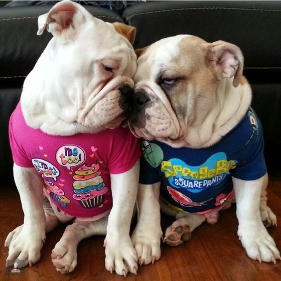 "Previous Pinner: ""❤ This pic is so genuine bulldog emotion. These babies are such lovers of their families (be they 2 or 4 legged). ""Cookie"" is in Pink & she has her own Instagram Account @cookie_the_bulldog (according to her mom) ❤ Posted from I love English Bulldogs"" They are sweet, and loving animals!:"