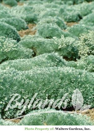 Silver Mound Artemisia - Artemisia schmidtiana 'Silver Mound'   Bylands Nurseries Ltd.