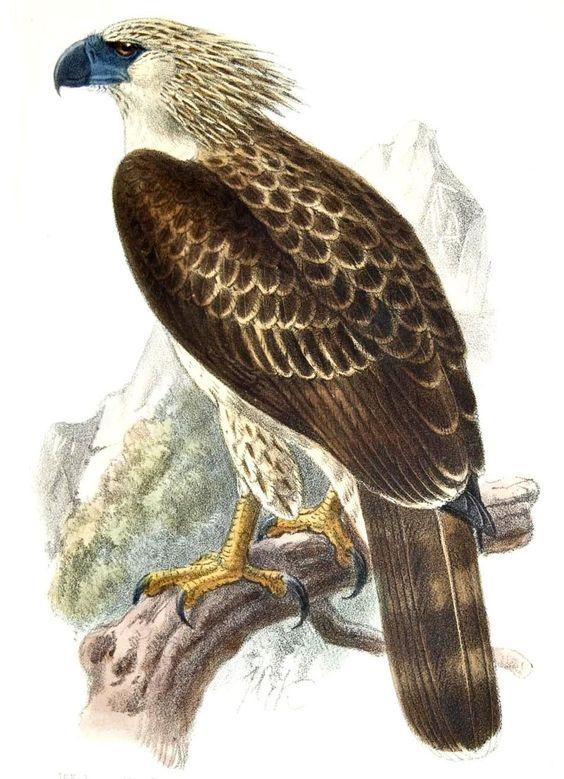 L'Aigle des singes, rebaptisé en 1978 Great Philippine eagle, est une espèce de rapace endémique des Philippines.