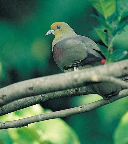 Whistling Green Pigeon - Birding In Taiwan - Whistling Green-Pigeon